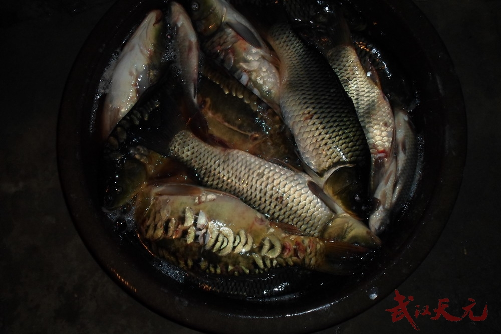 5/6公斤鲫鱼,总重量约20余公斤,是当天的冠军,用的是天元的酒香螺鲤
